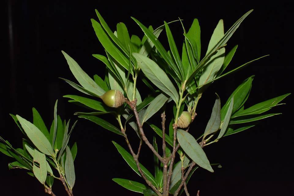 Đa dạng thực vật họ Dẻ (Fagaceae) tại Vườn Quốc gia Vũ Quang - Hà Tĩnh