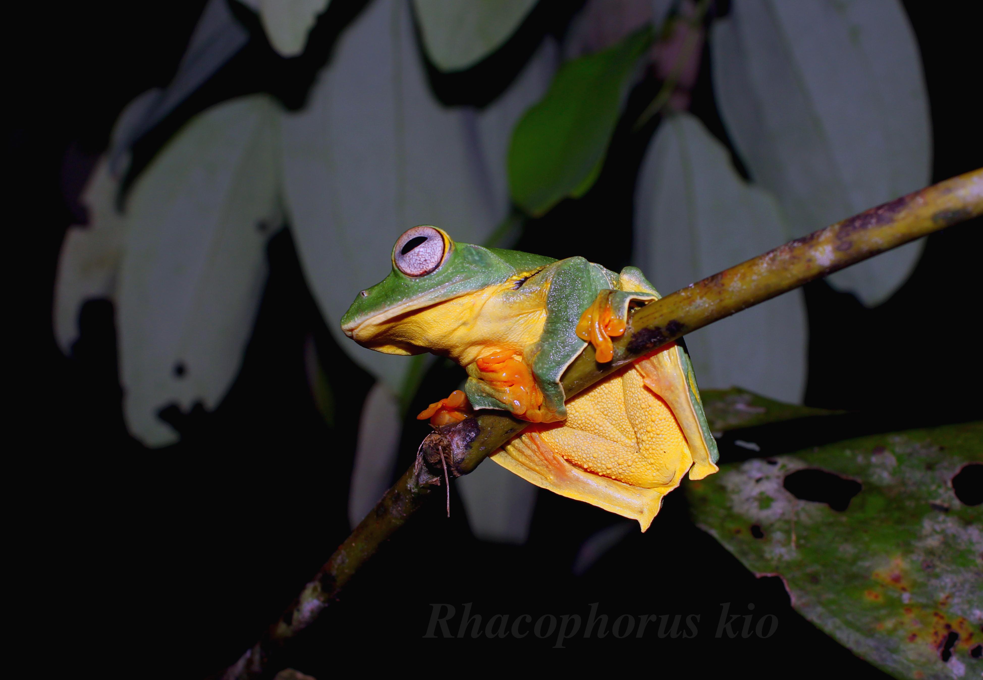 Đa dạng họ Ếch cây (Rhacophoridae) tại Vườn Quốc gia Vũ quang