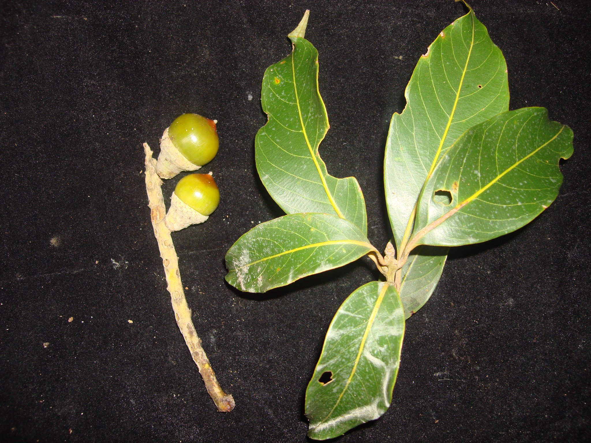 Lithocarpus vuquangensis (Fagaceae), a new species fromVu Quang National Park, Vietnam