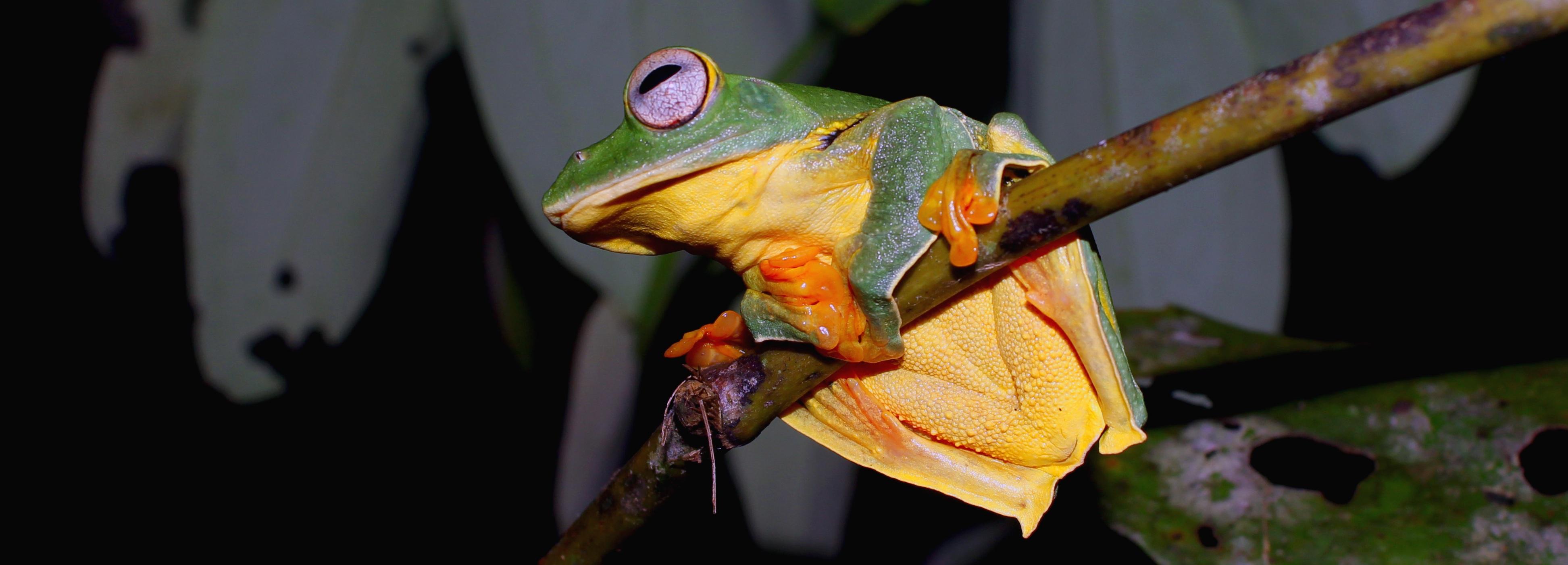 ếch cây kio