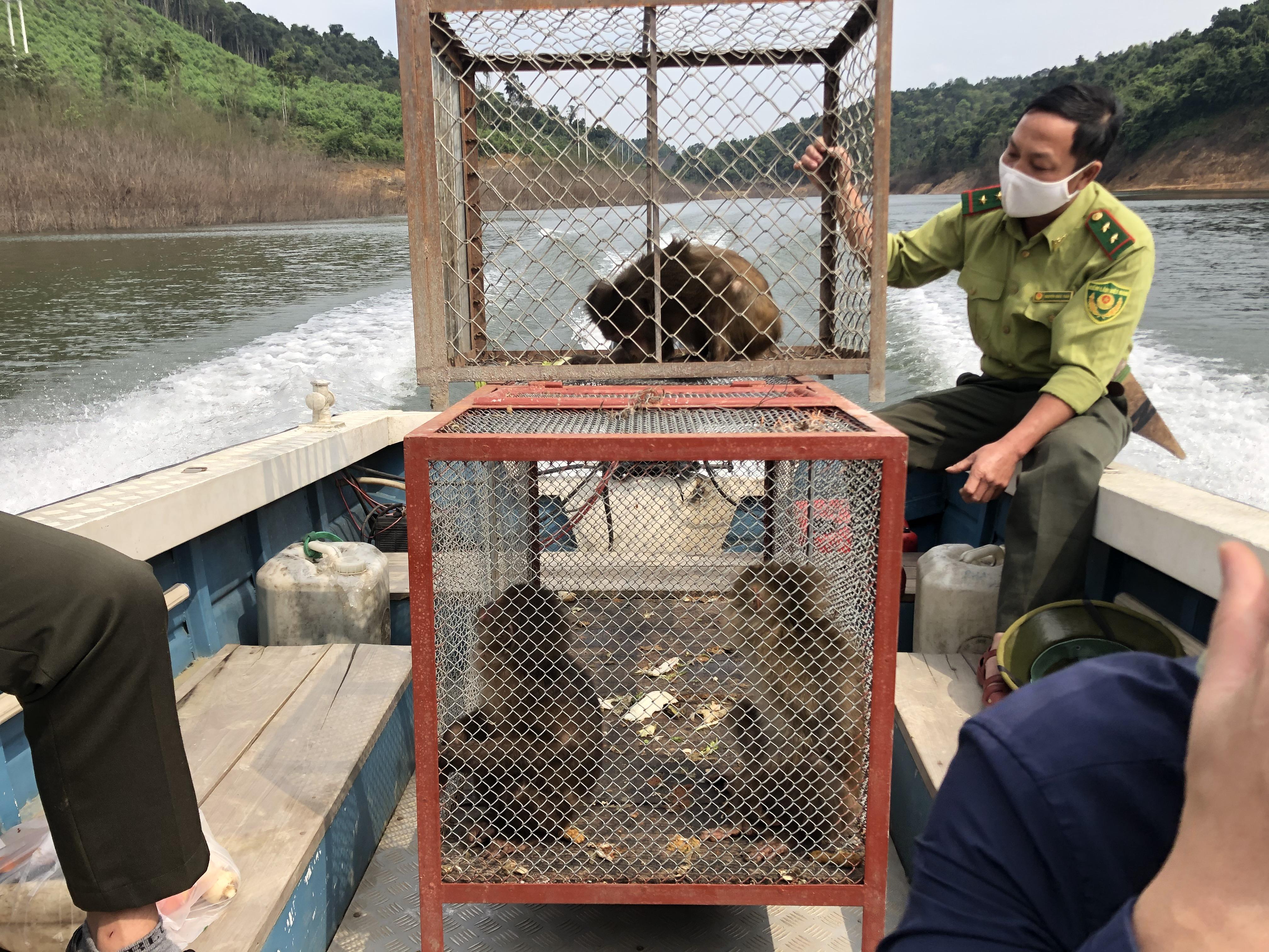 Vườn Quốc gia Vũ Quang tái thả 3 cá thể khỉ về môi trường tự nhiên