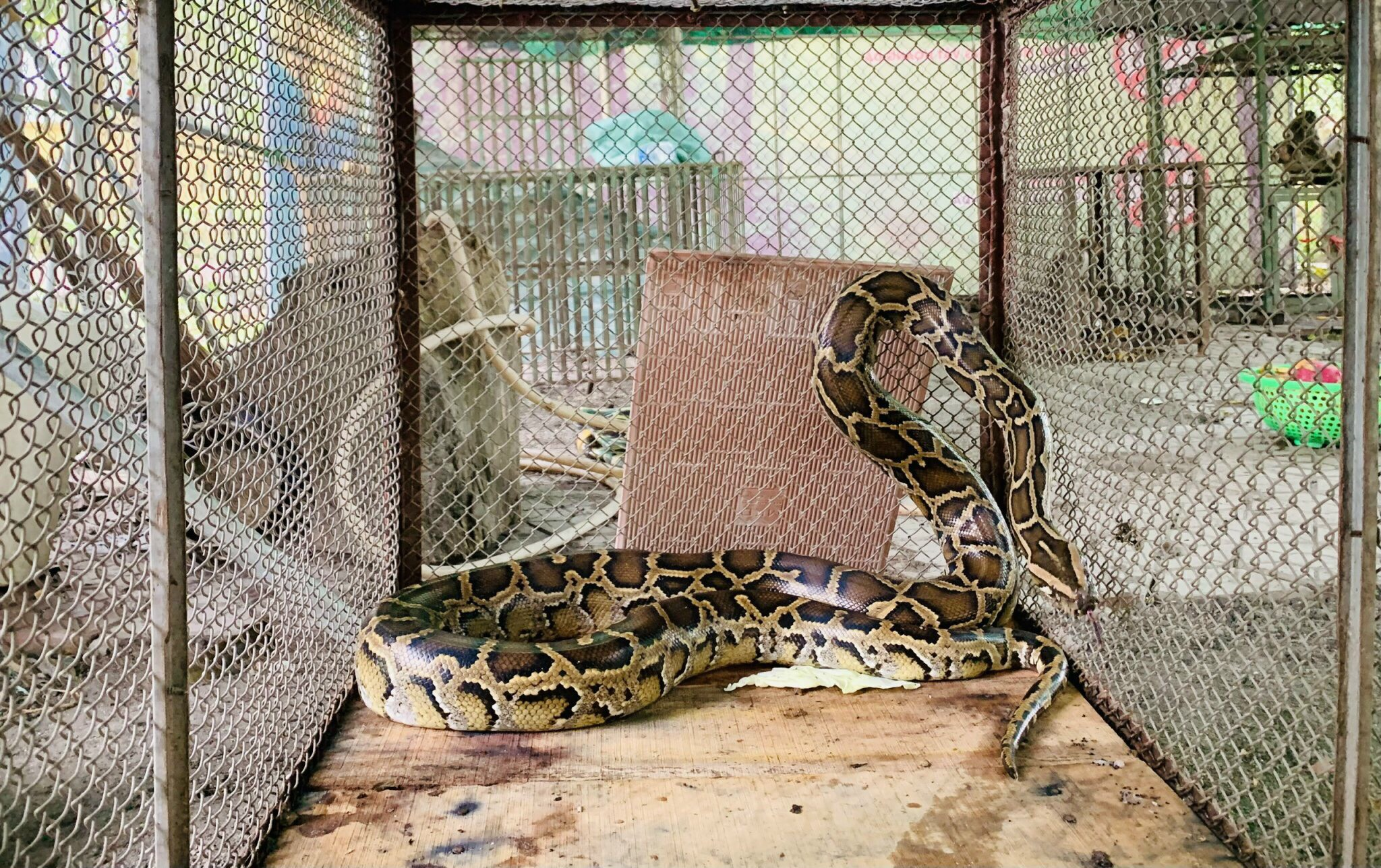 Một cá thể trăn gấm được bàn giao cho Vườn Quốc gia Vũ Quang