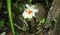 Lan hoàng thảo đại bạch hạc